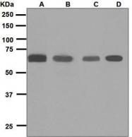 NBP1-95950 - Glypican-5 / GPC5