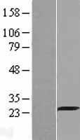 NBL1-11000 - Grancalcin Lysate