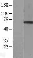 NBL1-11353 - Granulin Lysate