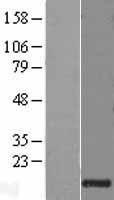 NBL1-11185 - Granulysin Lysate