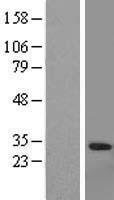 NBL1-11416 - Granzyme A Lysate
