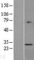 NBL1-11419 - Granzyme K Lysate