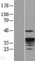 NBL1-11420 - Granzyme M Lysate