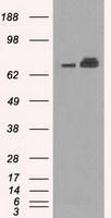 NBP1-47801 - Grp75 / HSPA9