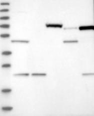 NBP1-87454 - Guanine deaminase