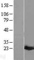 NBL1-11411 - Guanylate kinase Lysate