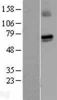 NBL1-11407 - Guanylyl Cyclase alpha 1 Lysate
