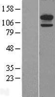 NBL1-09026 - H Cadherin Lysate