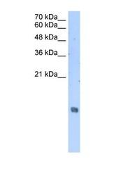 NBP1-58095 - Histone H2A type 3