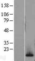 NBL1-11423 - H2AFV Lysate