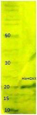 NBP1-42464 - Histone H2A.x