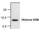 NBP1-45620 - Histone H2B type 2-E