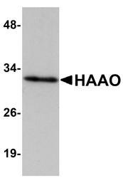 NBP1-77361 - HAAO