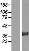 NBL1-11431 - HAAO Lysate