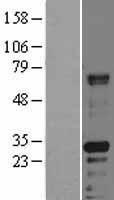 NBL1-11432 - HABP2 Lysate