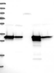 NBP1-83300 - HADH / HCDH