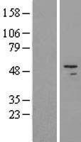NBL1-11437 - HADHB Lysate