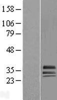 NBL1-11438 - HAGH Lysate