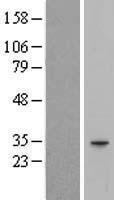NBL1-11439 - HAGHL Lysate
