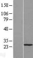 NBL1-11442 - HAND1 Lysate
