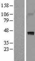 NBL1-11444 - HAPLN1 Lysate