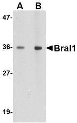 NBP1-77322 - Brain link protein 1 / BRAL1
