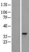 NBL1-11447 - HARBI1 Lysate