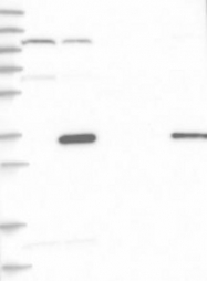 NBP1-90722 - HAUS4
