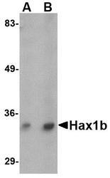 NBP1-76361 - HAX1