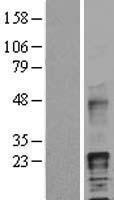 NBL1-11459 - HB EGF Lysate