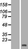 NBL1-12044 - HBLD1 Lysate