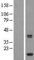 NBL1-12043 - HBLD2 Lysate