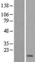 NBL1-11468 - HCFC1R1 Lysate