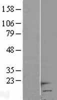 NBL1-11472 - HCP5 Lysate