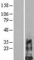 NBL1-11475 - DAP10 / HCST Lysate