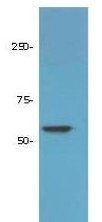 NBP1-78101 - HDAC1