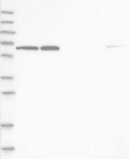 NBP1-83350 - HDAC1