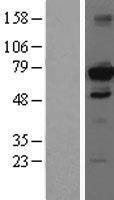 NBL1-11478 - HDAC10 Lysate