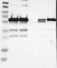 NBP1-87109 - HDAC2