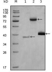NBP1-47530 - HDAC3
