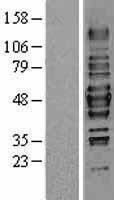 NBL1-11481 - HDAC3 Lysate
