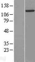NBL1-11483 - HDAC5 Lysate