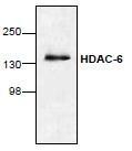 NBP1-45611 - HDAC6