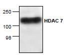 NBP1-45612 - HDAC7