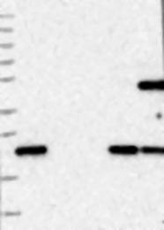 NBP1-82684 - HDDC3