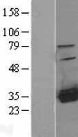 NBL1-11492 - HDHD2 Lysate