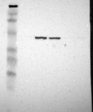 NBP1-88019 - DNAJA1 / HDJ2