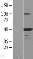 NBL1-09929 - HDJ2 Lysate