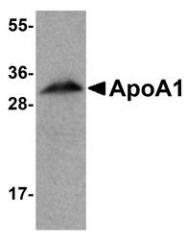 NBP1-77008 - Apolipoprotein A I (APO AI)