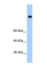 NBP1-57304 - Vigilin / HDLBP